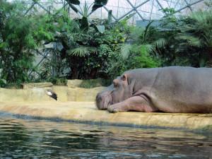 Ein Nilpferd am Tümpel